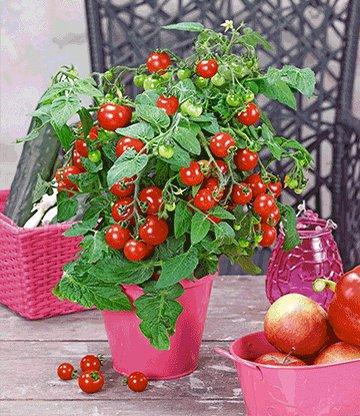 topf tomaten pflanze 39 sturdy jo 39 f1 snackgem se bei. Black Bedroom Furniture Sets. Home Design Ideas
