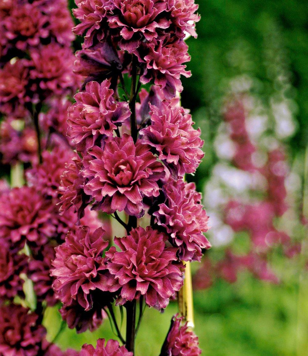 Delphinium flamenco top qualit t baldur garten for Baldur garten erfahrung