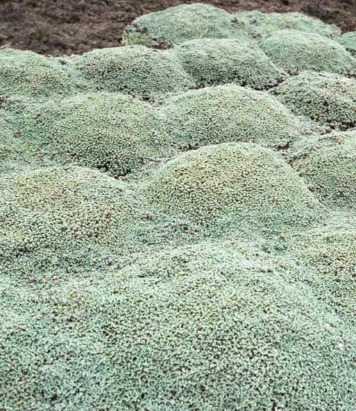 Moos sea green top pflanzen kaufen baldur garten for Green pflanzen