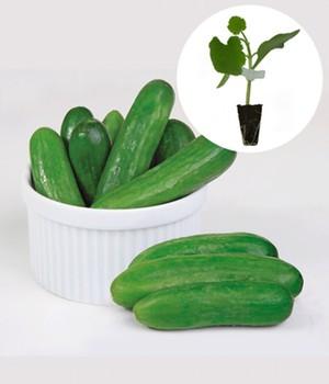 obst und gem sepflanzen online kaufen bestellen bei baldur garten. Black Bedroom Furniture Sets. Home Design Ideas