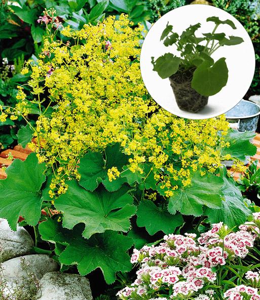 gelbe alchemilla easyplant jungpflanzen bei baldur garten. Black Bedroom Furniture Sets. Home Design Ideas
