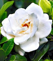 Duft-Gardenia 'Crown Jewel'