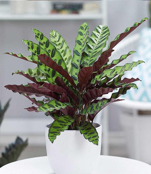 calathea 39 lancifolia 1a zimmerpflanzen online kaufen baldur garten. Black Bedroom Furniture Sets. Home Design Ideas