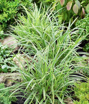 Carex 'Ice Dance'