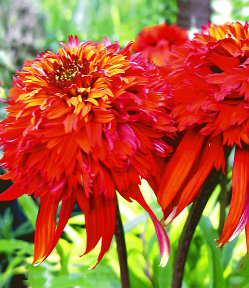 duft echinacea 39 hot papaya 39 gartenstauden bei baldur garten. Black Bedroom Furniture Sets. Home Design Ideas