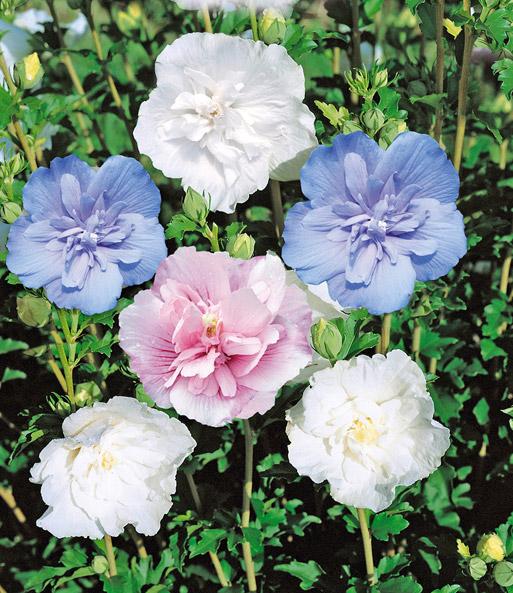 gef llter hibiskus chiffon wei 1a pflanzen baldur garten. Black Bedroom Furniture Sets. Home Design Ideas