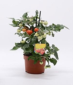 tomaten jetzt online kaufen bei baldur garten. Black Bedroom Furniture Sets. Home Design Ideas