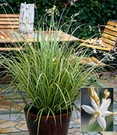 Anthericum 'Starlight®'