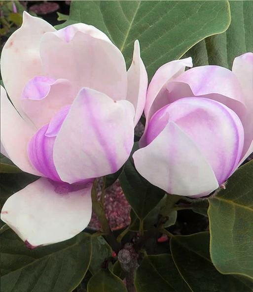 magnolie 39 red lucky 39 magnolie bei baldur garten. Black Bedroom Furniture Sets. Home Design Ideas