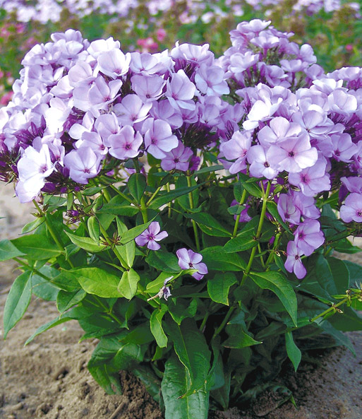 Duft-Phlox 'Jeff´s Blue'