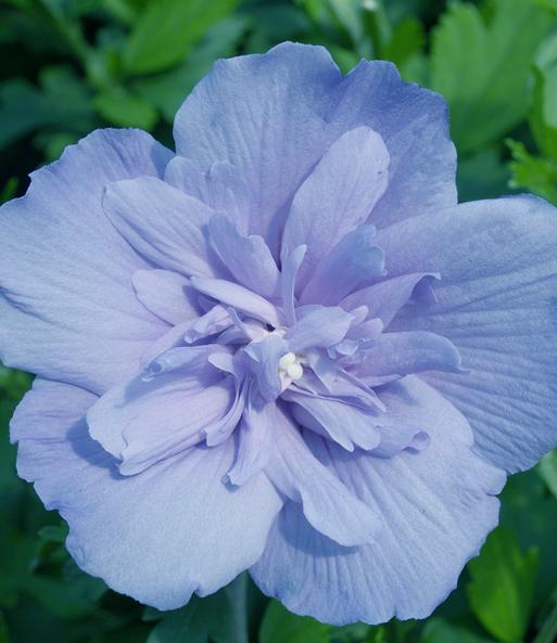 Hibiscus BLUE CHIFFON new sehr große blaue gefüllte Blüten