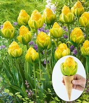 Tulpe 'Double Late Vanilla Coup'