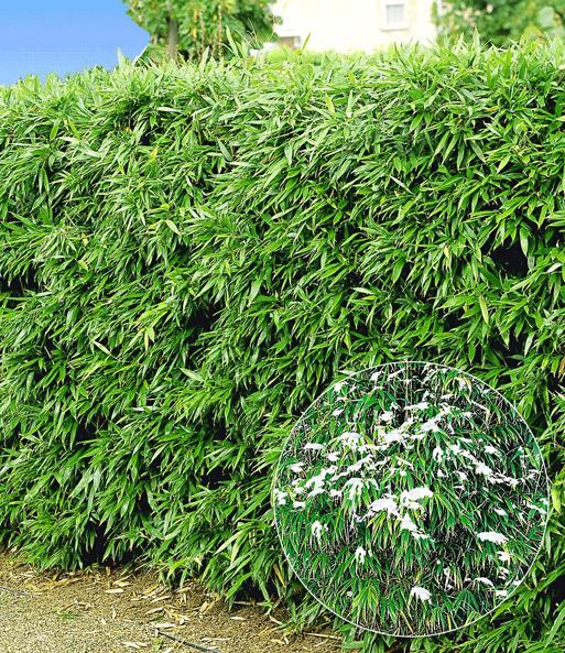 Winterharte Bambus Hecke Im 2 Liter Immergrune Straucher Bei