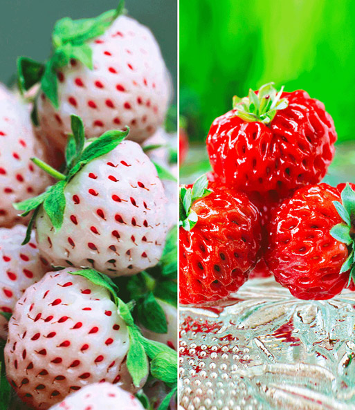 Erdbeer-Kollektion 'Framberry®' & 'White Dream®'