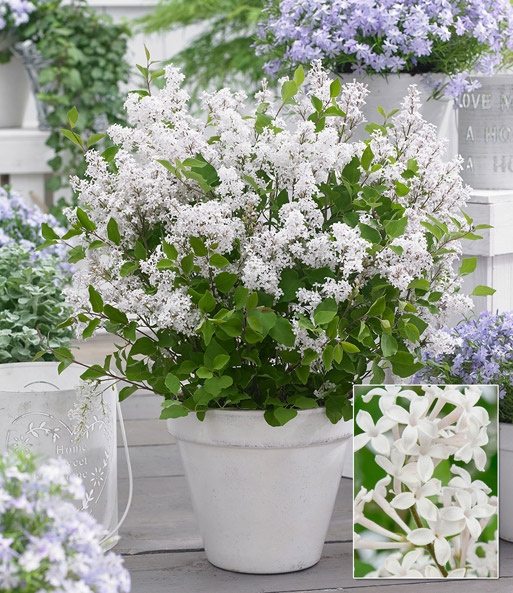 flieder flowerfest white top qualit t baldur garten. Black Bedroom Furniture Sets. Home Design Ideas