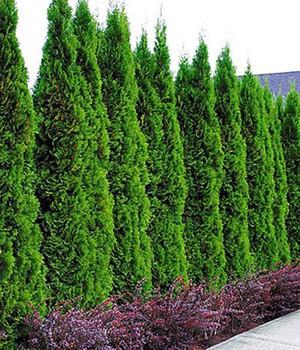 immergrüne sträucher kaufen & bestellen bei baldur-garten, Gartenarbeit ideen