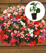 Impatiens-Mix 'Beacon®'