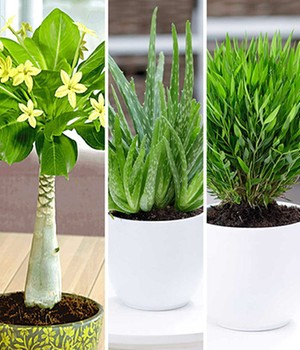 Bluhende Zimmerpflanzen Online Kaufen Baldur Garten