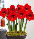Amaryllis 'Red Lion'