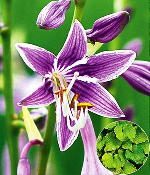 Hosta 'Purple Sensation'