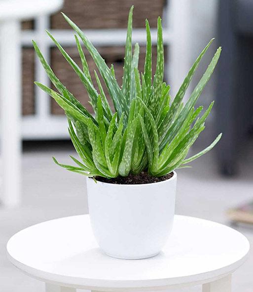 Grünpflanzen Green Plants Zimmerpflanzen: Zimmerpflanzen-Mix 'Pflegeleicht': 1A-Zimmerpflanzen