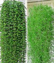 Pfeifenwinde Giftig pfeifenwinde kletterpflanzen bei baldur garten