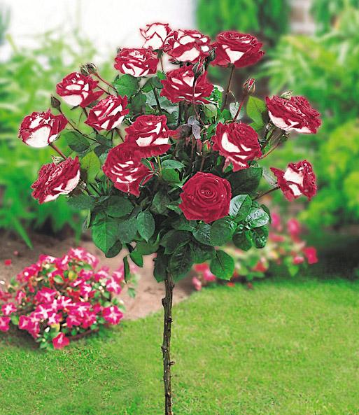 rosen st mmchen osiria 1a qualit t kaufen baldur garten. Black Bedroom Furniture Sets. Home Design Ideas