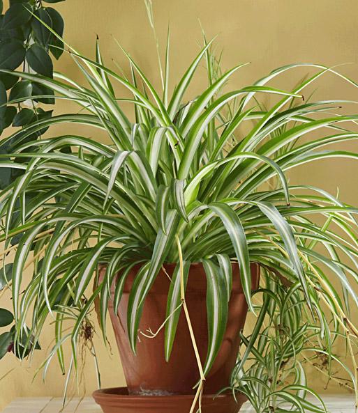 Gr nlilie 1a zimmerpflanzen online kaufen baldur garten for Zimmerpflanzen dekorativ