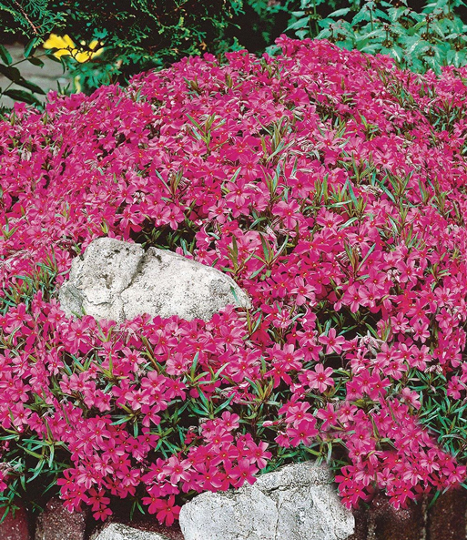 Roter Teppich-Phlox