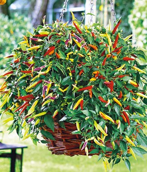 Hänge-Chili 'Volante® Hot Red'