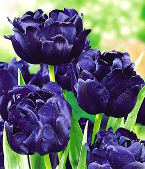 Tulpe 'Blue Diamond'
