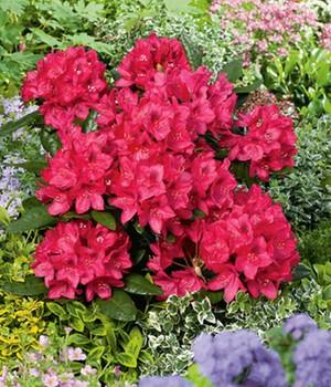 rhododendron kaufen online bestellen bei baldur garten. Black Bedroom Furniture Sets. Home Design Ideas