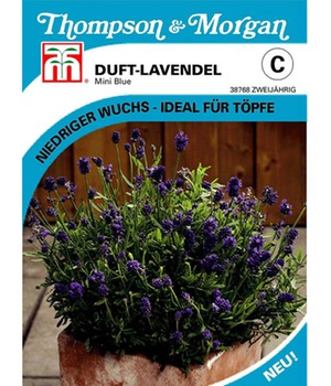 Duft-Lavendel 'Mini Blue'