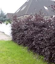 euonymus compact 39 burning bush 39 weitere zierstr ucher bei baldur garten. Black Bedroom Furniture Sets. Home Design Ideas