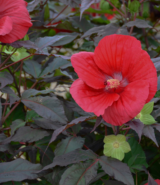 Winterharter Hibiskus 'Summerific®' 'Midnight Marvel'