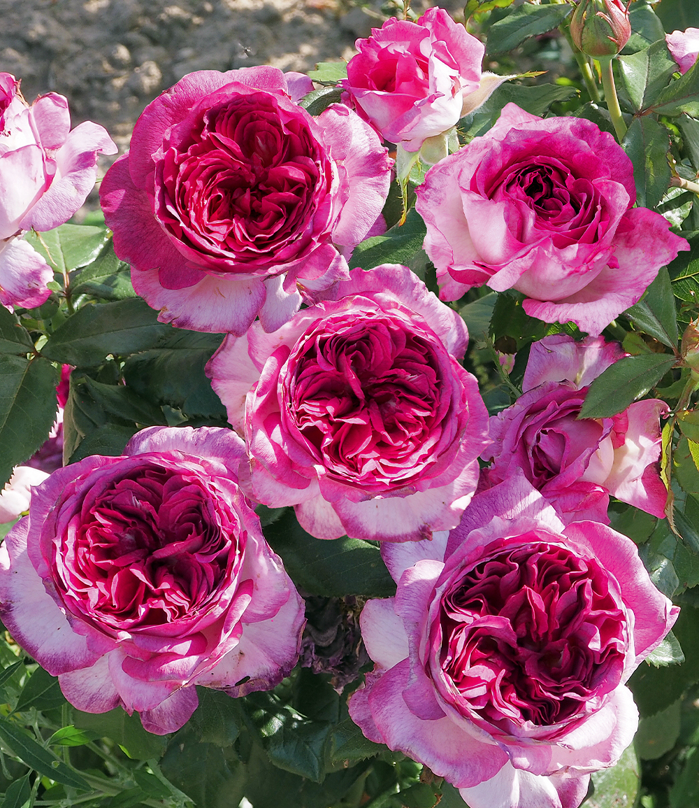 Parfum-Rose 'Thierry Marx®'
