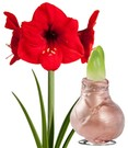 Wachs-Amaryllis 'Touch of Gloss' Kupfer