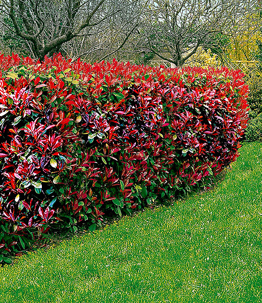 photinia hecke red robin 1a heckenpflanzen baldur garten. Black Bedroom Furniture Sets. Home Design Ideas