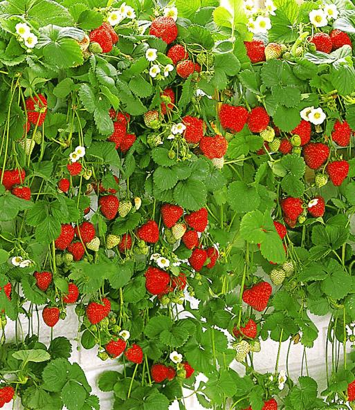 h nge erdbeere 39 hummi 39 erdbeeren bei baldur garten. Black Bedroom Furniture Sets. Home Design Ideas