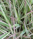 Phalaris 'Strawberry and Cream'