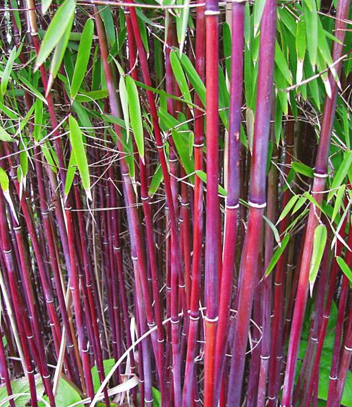 roter bambus asian wonder 1a qualit t kaufen baldur garten. Black Bedroom Furniture Sets. Home Design Ideas