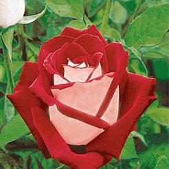 Rosen (große Auswahl) online kaufen & bestellen bei BALDUR ...