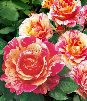 Maler-Rose® 'Claude Monet®'