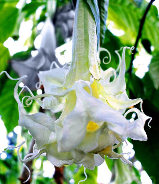 die Engelstrompete ! Eine wunderschöne Kübelpflanze mit imposanten rosa Blüten