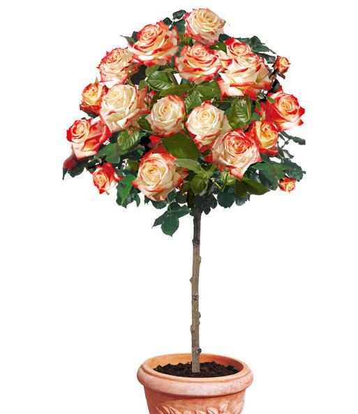 Rosen-Stamm 'Impératrice Farah®'': 1A-Qualität Kaufen| Baldur-Garten