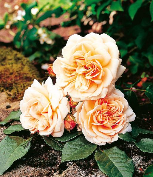 rose der liebe jardins de l essonne baldur garten