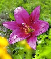 'Purple Prince®' Tree-Lily®