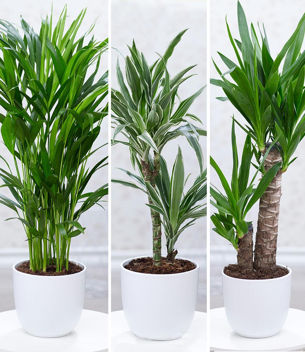 Zimmerpflanzen-Mix 'Palme XXL'