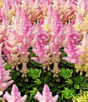 Astilbe 'Ice Cream'