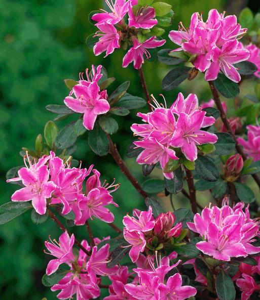 rhododendron kermesina rose 1a qualit t kaufen baldur. Black Bedroom Furniture Sets. Home Design Ideas